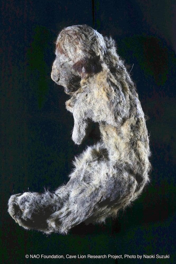 3万年前の「ホラアナライオン」...