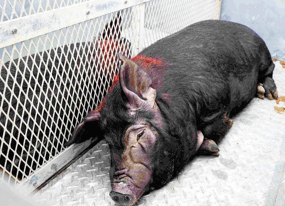 ブランド豚「疎開」作戦、船で沖縄離島へ : ニュース : 沖縄 : 地域 ...
