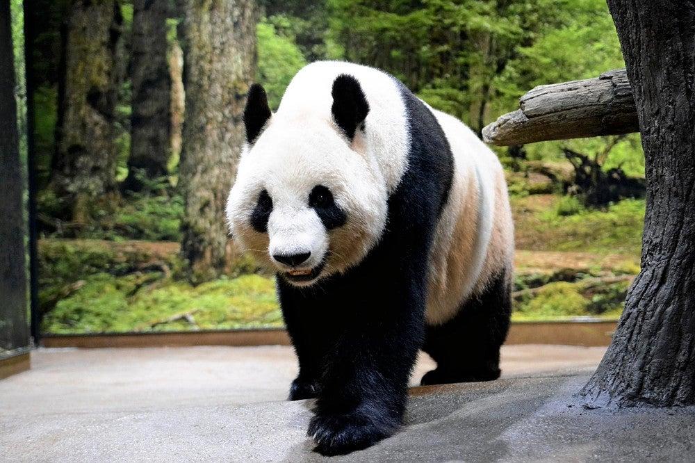 パンダのリーリーとシンシン、来年2月までの貸与期間延長へ都が中国と ...