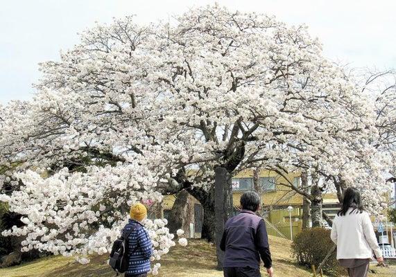 花を咲かせた帯桜(1日、島田市役所駐車場で)