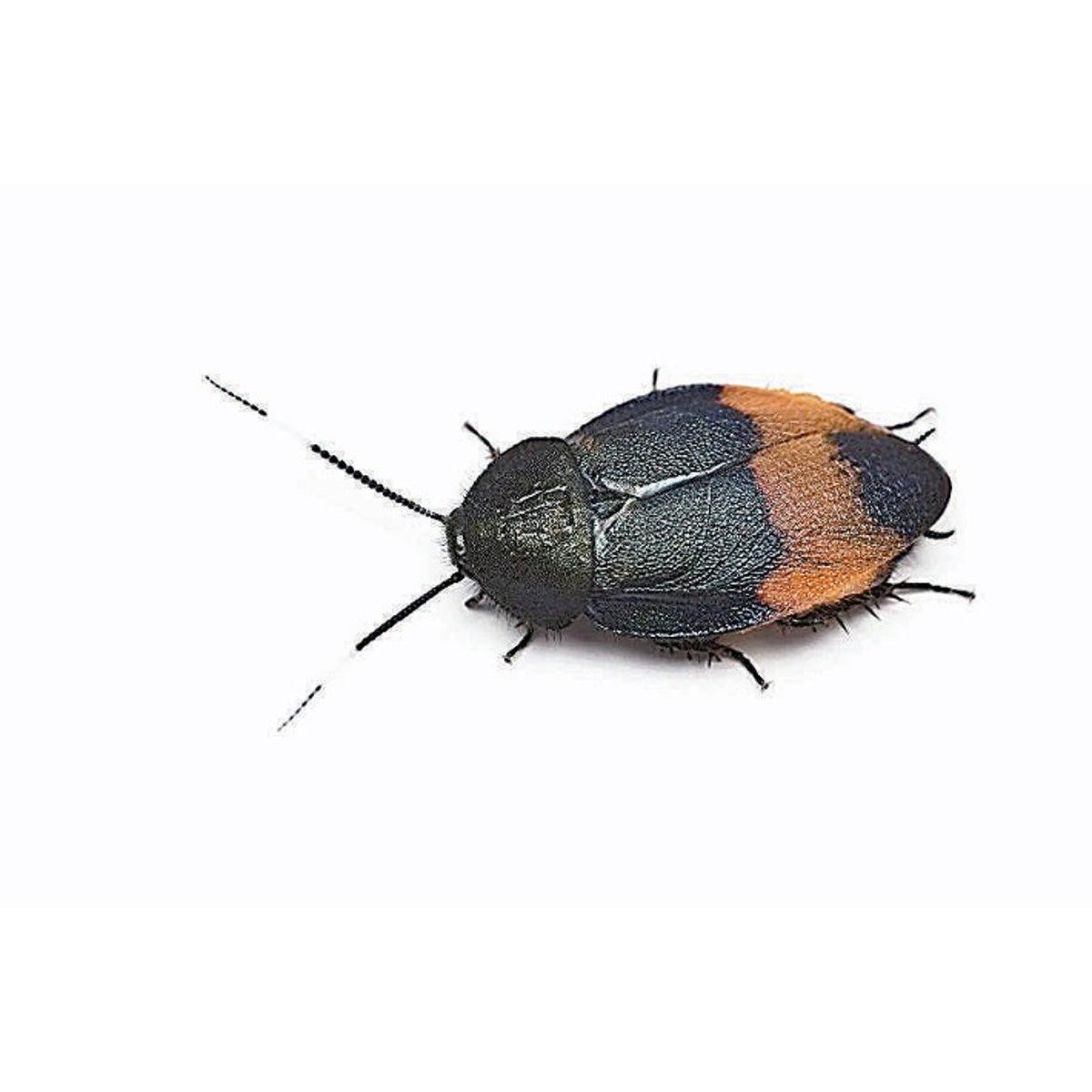 占い ゴキブリ 夢 【夢占い】ゴキブリの夢の意味!大きさや場所、シチュエーション別22パターンを徹底解説